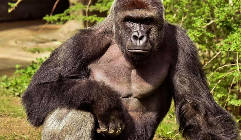 O gorila, a criança e a comoção virtual